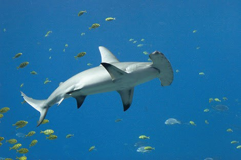 Hammerhead Shark 1 Small